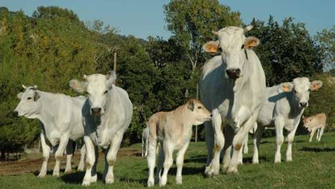 allevamenti-bovini-1