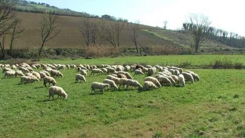 allevamento-ovini-4