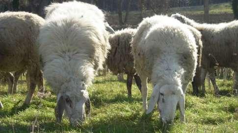 allevamento-ovini-6
